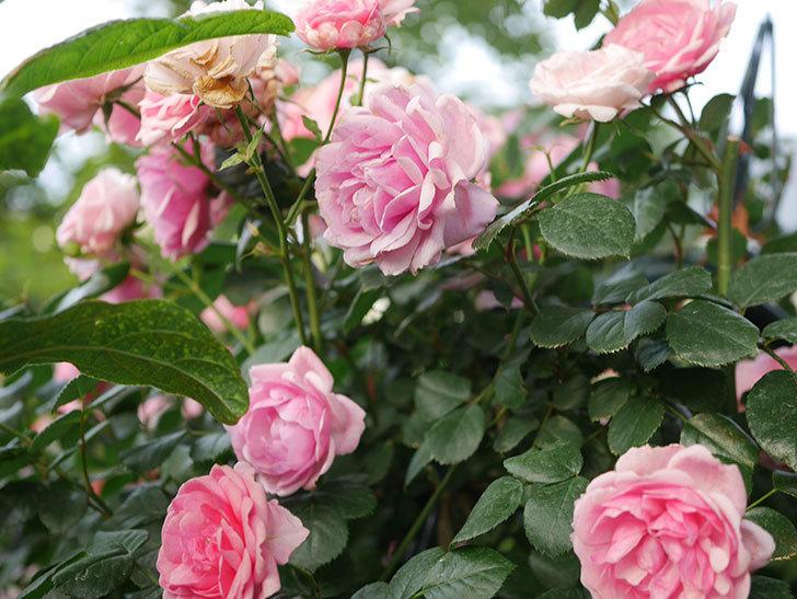 ポンポネッラ(Pomponella)の花が綺麗に咲いた。半ツルバラ。2020年-102.jpg