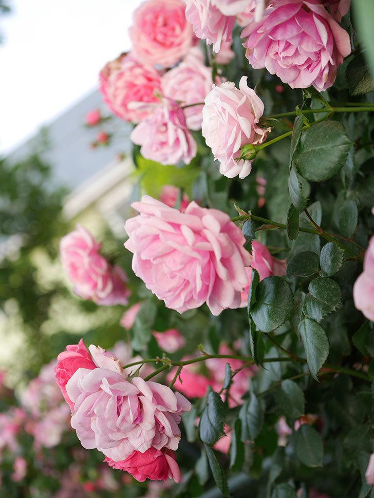 ポンポネッラ(Pomponella)の花が綺麗に咲いた。半ツルバラ。2020年-103.jpg