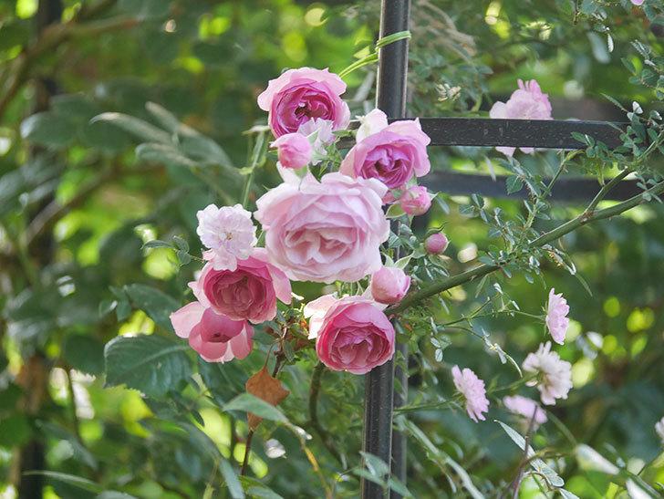 ポンポネッラ(Pomponella)の花が綺麗に咲いた。半ツルバラ。2020年-104.jpg