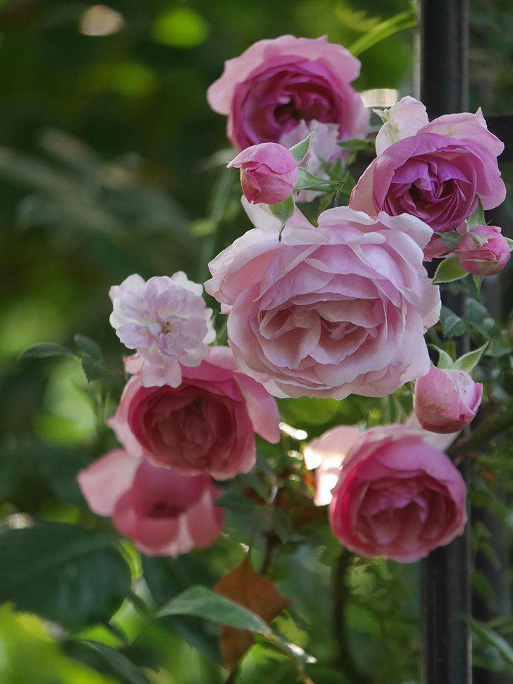 ポンポネッラ(Pomponella)の花が綺麗に咲いた。半ツルバラ。2020年-105.jpg
