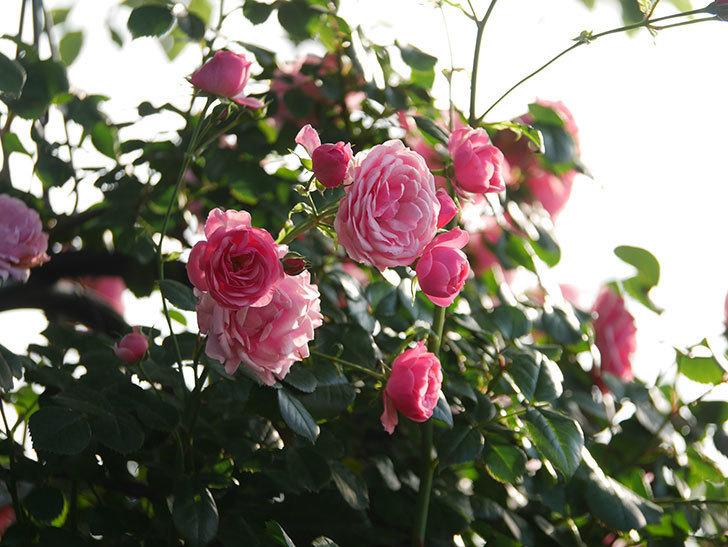 ポンポネッラ(Pomponella)の花が綺麗に咲いた。半ツルバラ。2020年-106.jpg