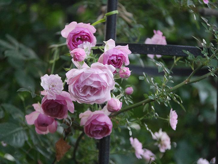 ポンポネッラ(Pomponella)の花が綺麗に咲いた。半ツルバラ。2020年-107.jpg