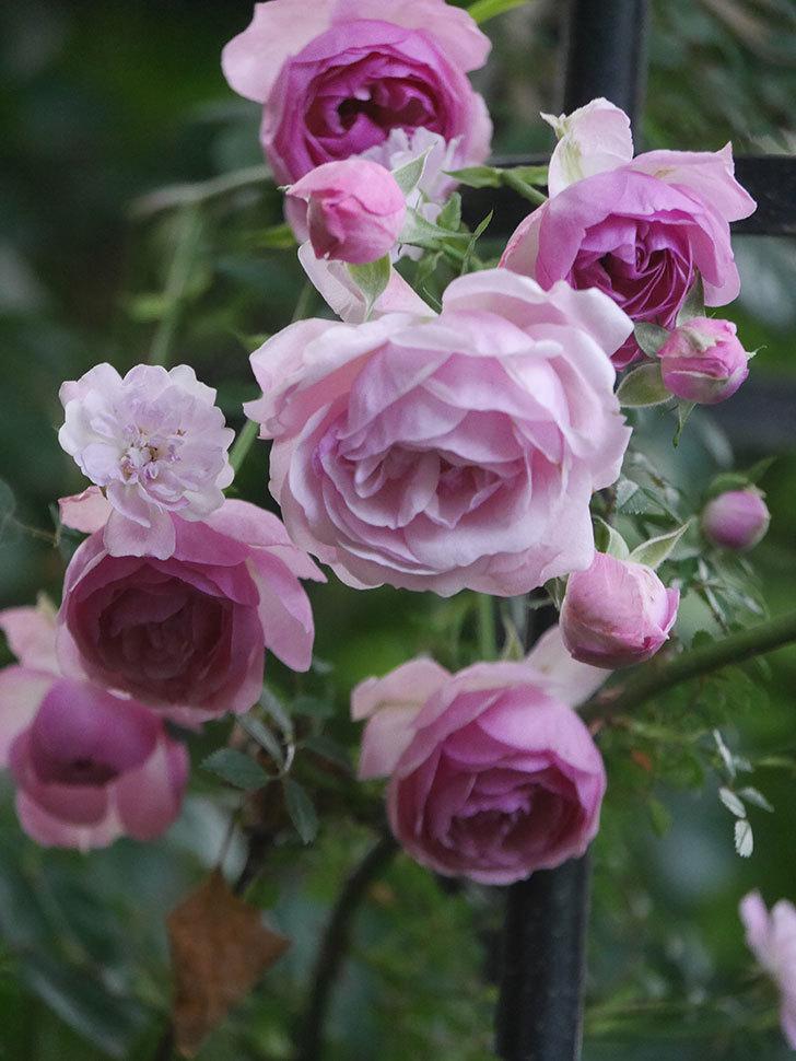 ポンポネッラ(Pomponella)の花が綺麗に咲いた。半ツルバラ。2020年-108.jpg