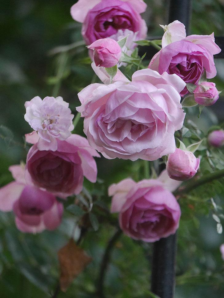ポンポネッラ(Pomponella)の花が綺麗に咲いた。半ツルバラ。2020年-109.jpg