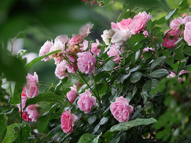 ポンポネッラ(Pomponella)の花が綺麗に咲いた。半ツルバラ。2020年-110.jpg