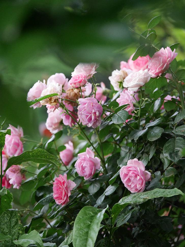 ポンポネッラ(Pomponella)の花が綺麗に咲いた。半ツルバラ。2020年-111.jpg