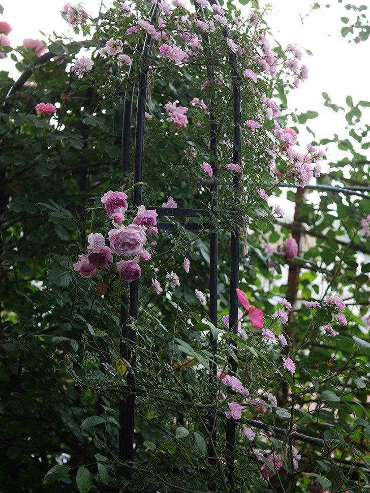ポンポネッラ(Pomponella)の花が綺麗に咲いた。半ツルバラ。2020年-112.jpg