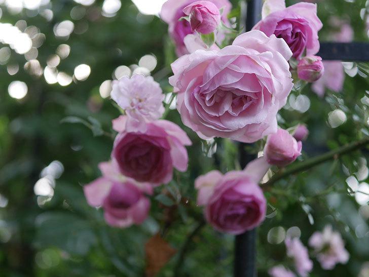 ポンポネッラ(Pomponella)の花が綺麗に咲いた。半ツルバラ。2020年-113.jpg