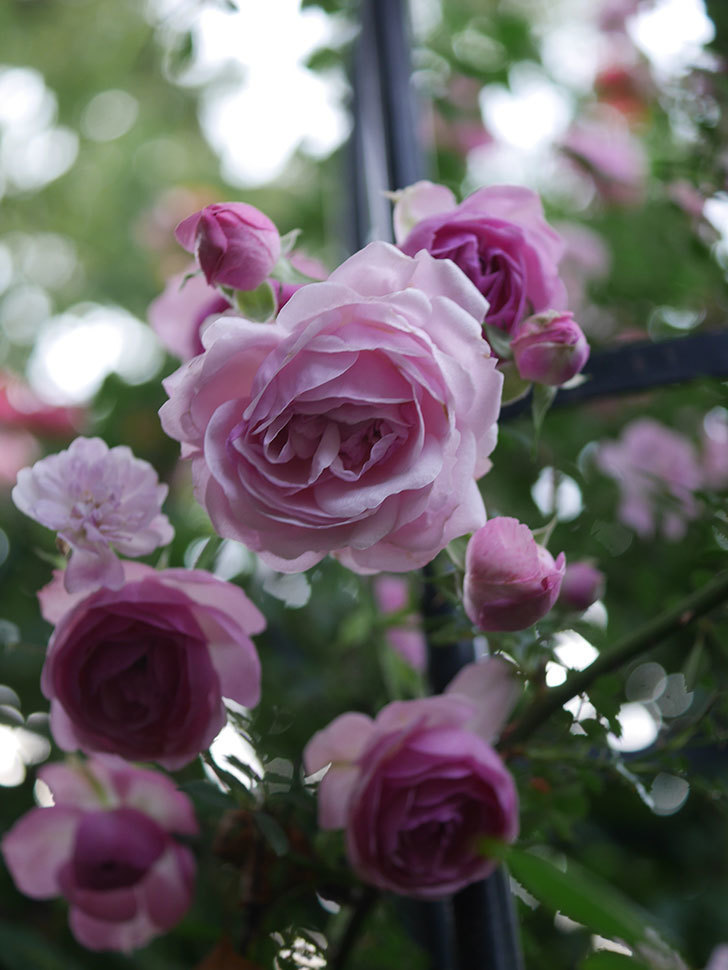 ポンポネッラ(Pomponella)の花が綺麗に咲いた。半ツルバラ。2020年-114.jpg