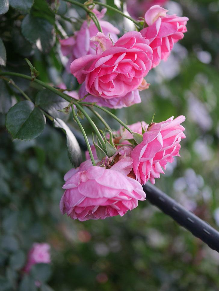 ポンポネッラ(Pomponella)の花が綺麗に咲いた。半ツルバラ。2020年-115.jpg