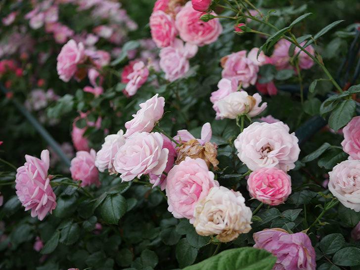 ポンポネッラ(Pomponella)の花が綺麗に咲いた。半ツルバラ。2020年-116.jpg