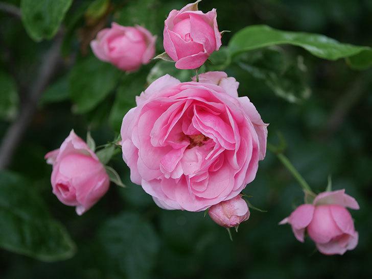 ポンポネッラ(Pomponella)の花が綺麗に咲いた。半ツルバラ。2020年-117.jpg