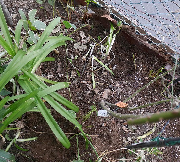 ポンポネッラ(ツルバラ)に寒肥を施した。2019年-3.jpg