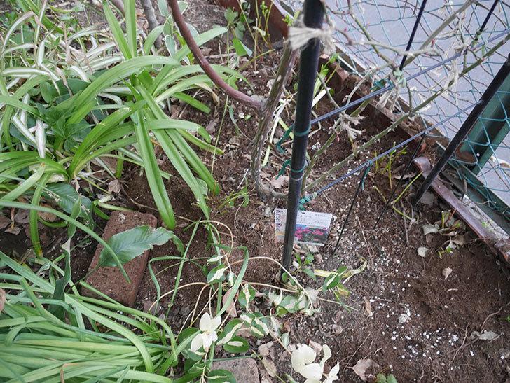 ポンポネッラ(ツルバラ)に寒肥を施した。2019年-4.jpg