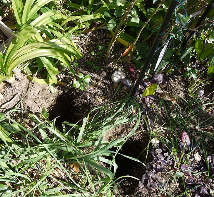 ポンポネッラ(ツルバラ)に穴を掘って寒肥をやった。2017年-1.jpg