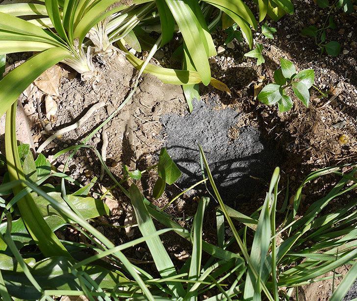 ポンポネッラ(ツルバラ)に穴を掘って寒肥をやった。2017年-13.jpg