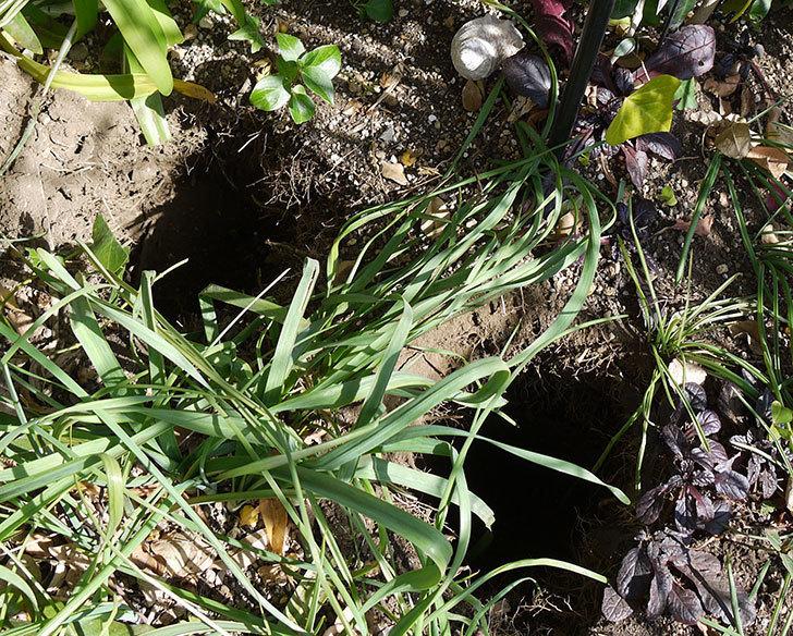 ポンポネッラ(ツルバラ)に穴を掘って寒肥をやった。2017年-5.jpg
