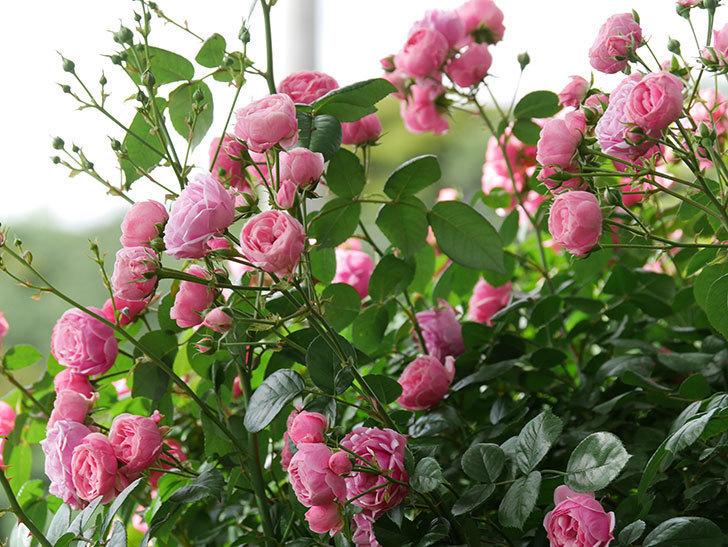 ポンポネッラ(ツルバラ)の花がたくさん咲いた。2019年-1.jpg