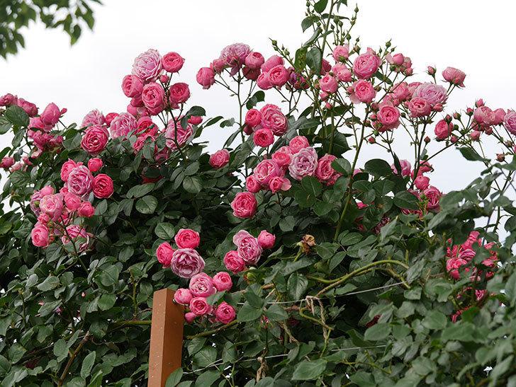 ポンポネッラ(ツルバラ)の花がたくさん咲いた。2019年-10.jpg
