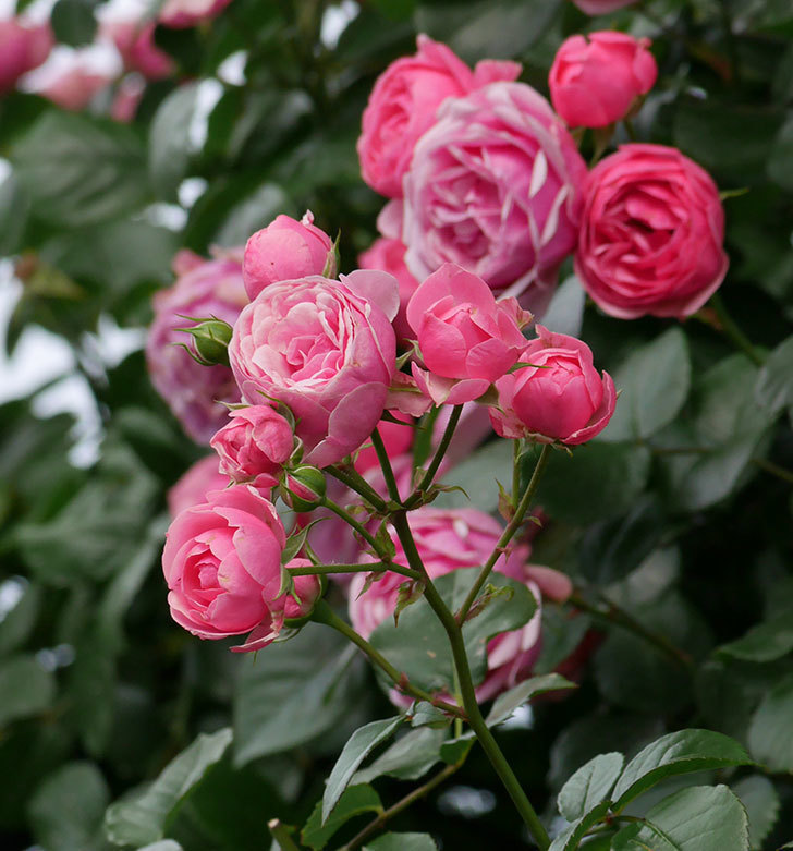 ポンポネッラ(ツルバラ)の花がたくさん咲いた。2019年-11.jpg
