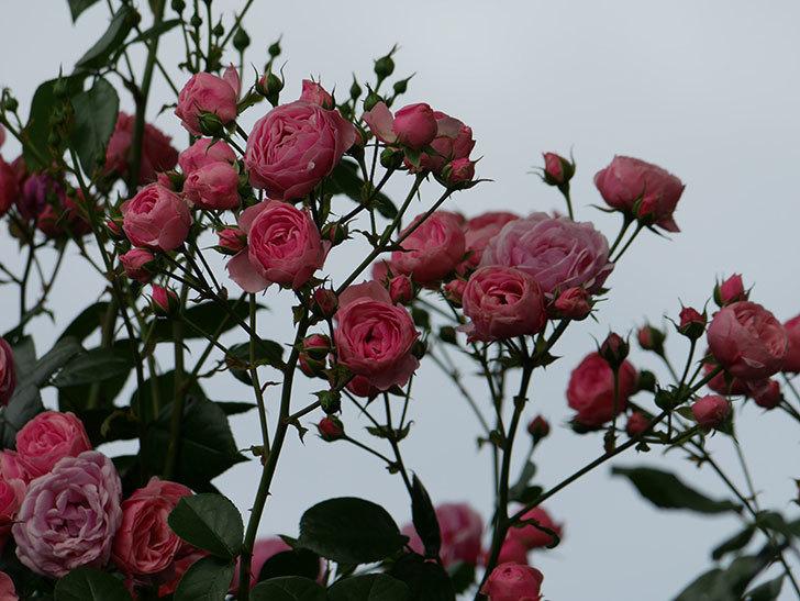 ポンポネッラ(ツルバラ)の花がたくさん咲いた。2019年-12.jpg