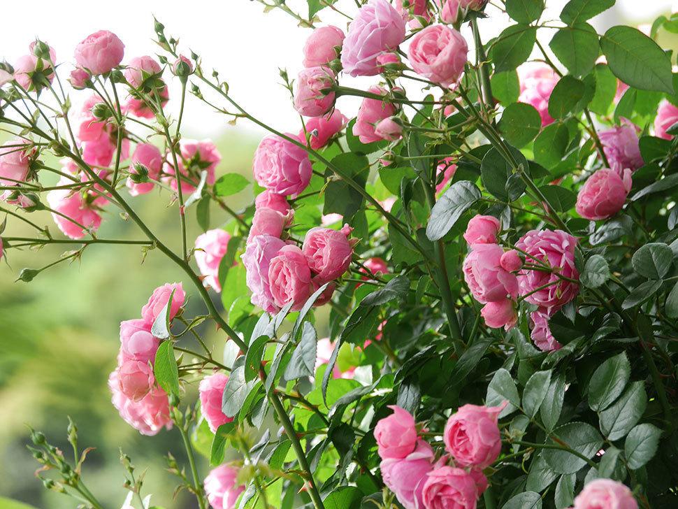 ポンポネッラ(ツルバラ)の花がたくさん咲いた。2019年-6.jpg