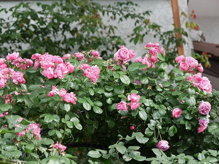 ポンポネッラ(ツルバラ)の花がたくさん咲いた。2019年-7.jpg