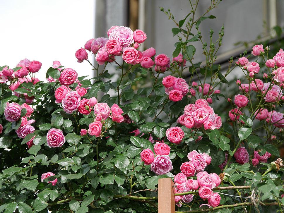 ポンポネッラ(ツルバラ)の花がたくさん咲いた。2019年-8.jpg
