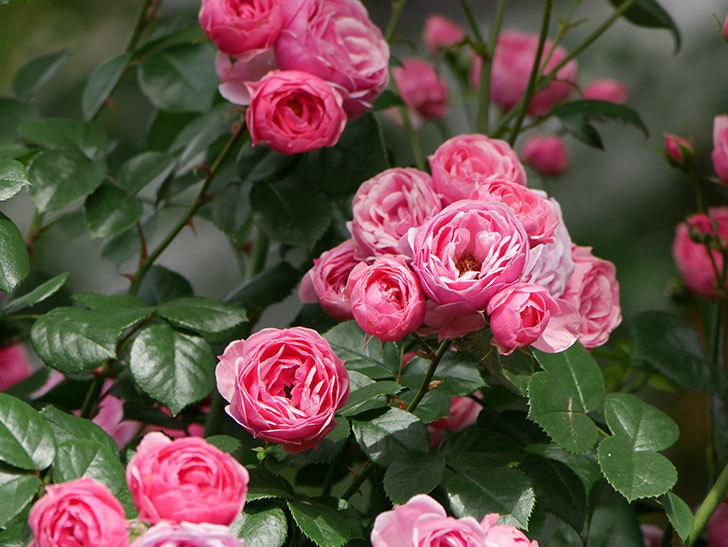 ポンポネッラ(ツルバラ)の花がたくさん咲いた。2019年-9.jpg