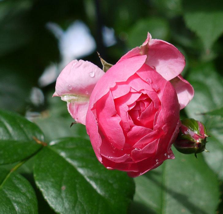 ポンポネッラ(ツルバラ)の花が咲いた。2017年-3.jpg