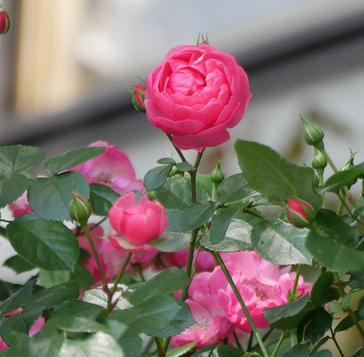 ポンポネッラ(ツルバラ)の花が咲いた。2018年-1.jpg