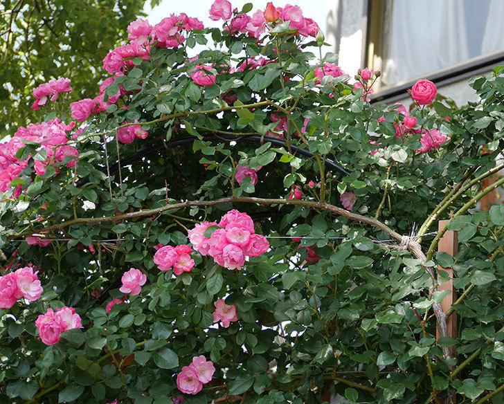 ポンポネッラ(ツルバラ)の花が咲いた。2018年-3.jpg