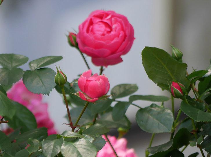 ポンポネッラ(ツルバラ)の花が咲いた。2018年-4.jpg