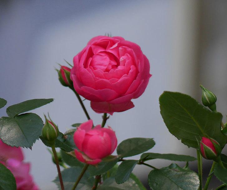 ポンポネッラ(ツルバラ)の花が咲いた。2018年-5.jpg
