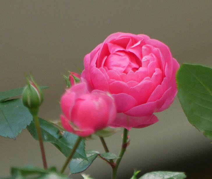 ポンポネッラ(ツルバラ)の花が咲いた。2018年-7.jpg