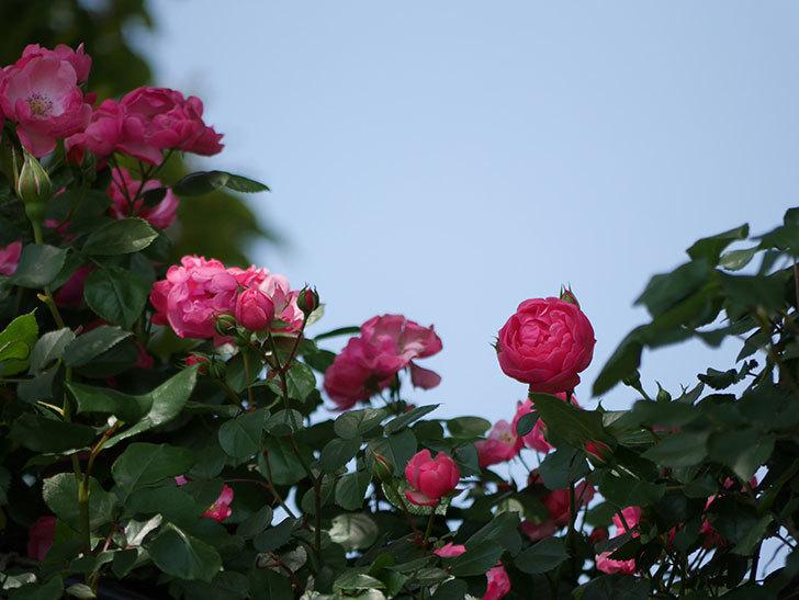 ポンポネッラ(ツルバラ)の花が咲いた。2018年-8.jpg
