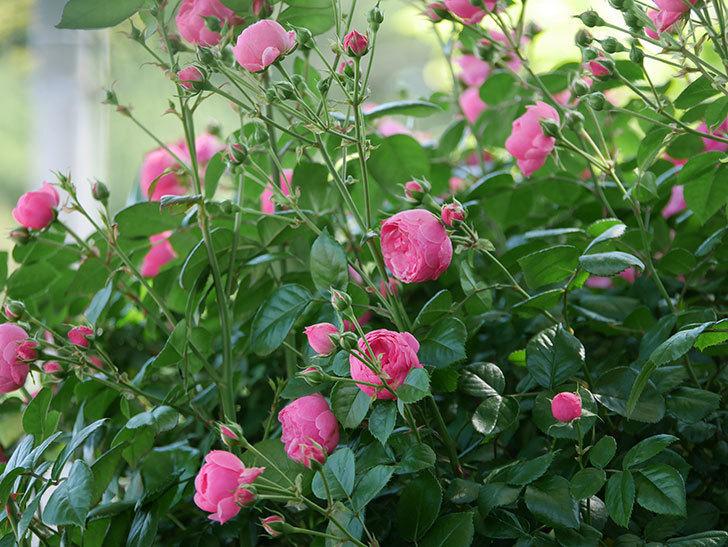 ポンポネッラ(ツルバラ)の花が咲いた。2019年-1.jpg
