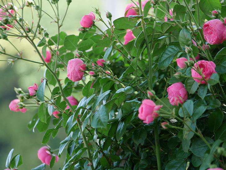 ポンポネッラ(ツルバラ)の花が咲いた。2019年-10.jpg