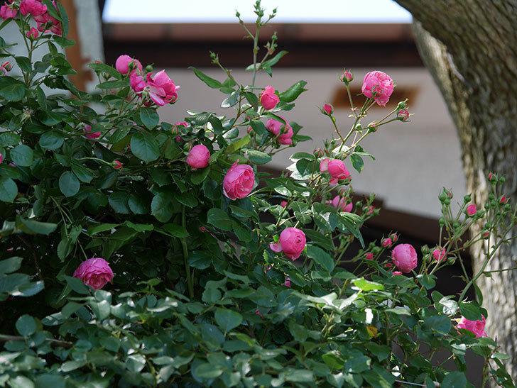 ポンポネッラ(ツルバラ)の花が咲いた。2019年-12.jpg