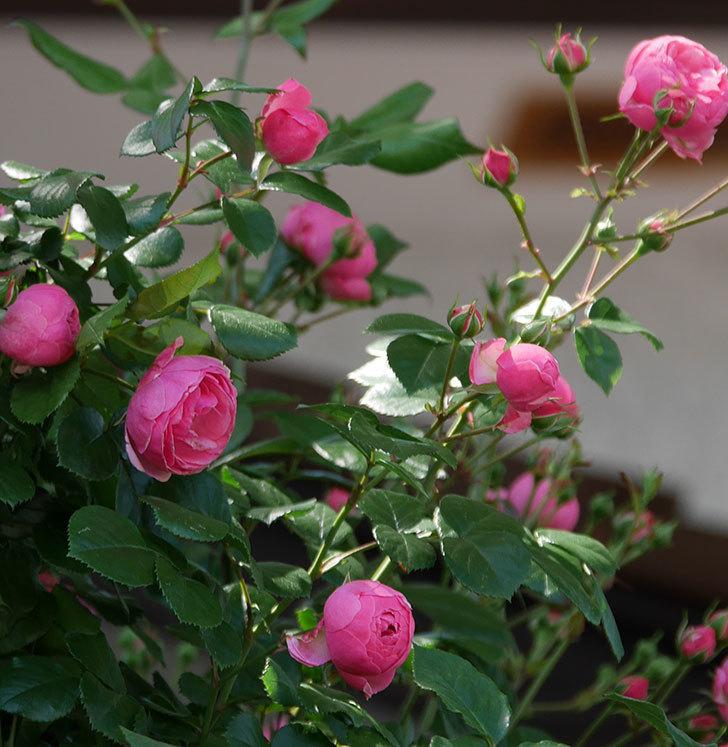 ポンポネッラ(ツルバラ)の花が咲いた。2019年-13.jpg