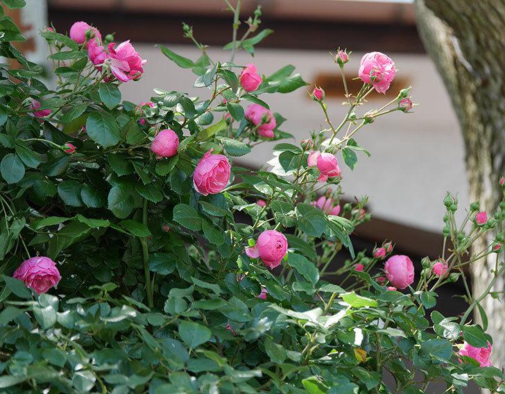 ポンポネッラ(ツルバラ)の花が咲いた。2019年-14.jpg