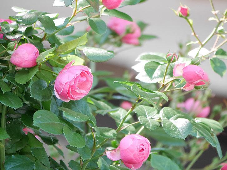 ポンポネッラ(ツルバラ)の花が咲いた。2019年-15.jpg
