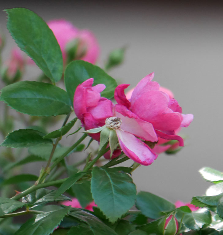 ポンポネッラ(ツルバラ)の花が咲いた。2019年-16.jpg