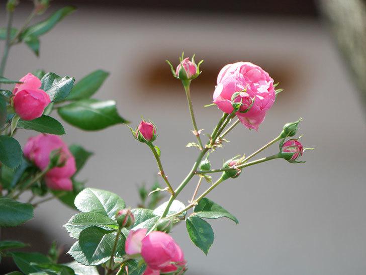 ポンポネッラ(ツルバラ)の花が咲いた。2019年-17.jpg
