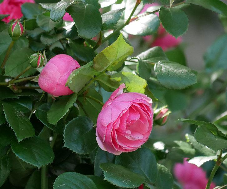 ポンポネッラ(ツルバラ)の花が咲いた。2019年-18.jpg