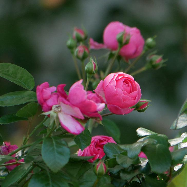 ポンポネッラ(ツルバラ)の花が咲いた。2019年-19.jpg