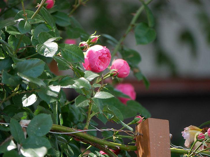 ポンポネッラ(ツルバラ)の花が咲いた。2019年-20.jpg