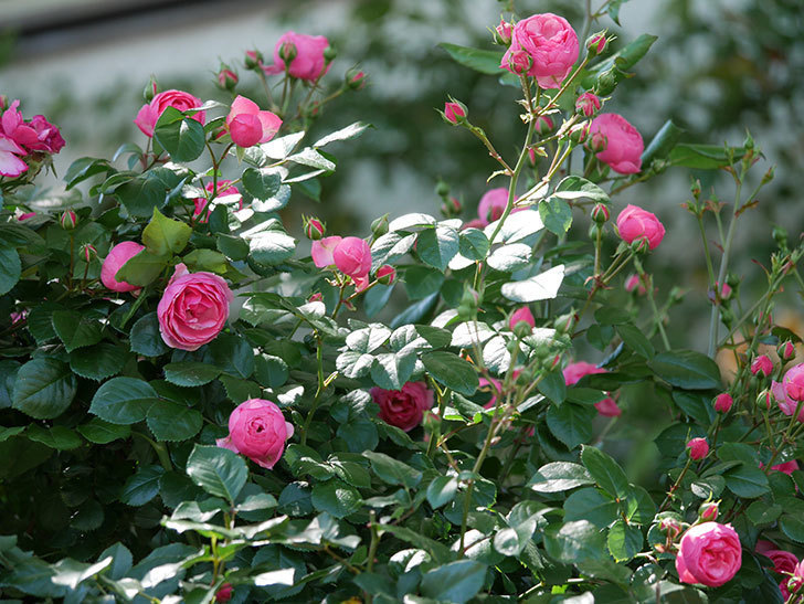ポンポネッラ(ツルバラ)の花が咲いた。2019年-21.jpg