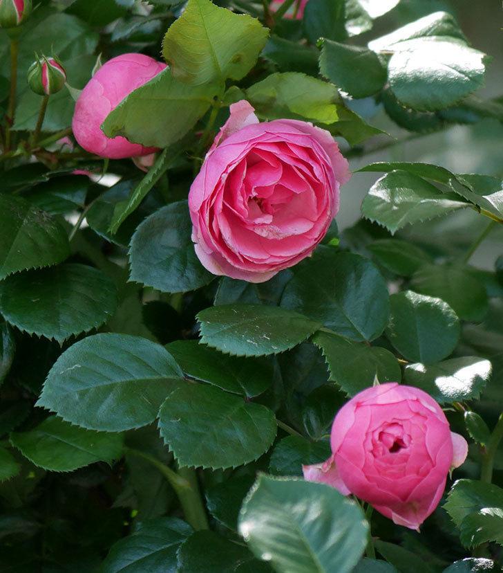 ポンポネッラ(ツルバラ)の花が咲いた。2019年-22.jpg