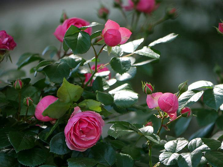 ポンポネッラ(ツルバラ)の花が咲いた。2019年-23.jpg